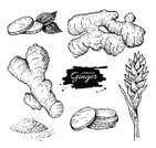 Ginger,Illustration,Root,Vector,Drawing - Art Product