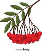 Cut Out,No People,Plant,Bunch,Illustration,Nature,Leaf,Ripe,Berry Fruit,Autumn,Fruit,Healthy Eating,Branch,Rowanberry,Bunch of Flowers,Bouquet,Tree,Bundle,Orange Color,Vibrant Color,Red,Green Color