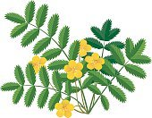 Flower,Single Flower,Yellow,Summer,Europe,Leaf,Vector,Herbal Medicine,Botany,Plant,Silverweed,Garbage,Wildlife,Herb,Flower Head,Illustration,Silver Colored,Land,outer,Weed,Uncultivated,Nature,Wildflower