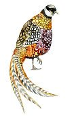 Painted Image,Illustration,Isolated,Poultry,Pheasant - Bird,Bird,Watercolor Painting