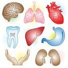Human Heart,Human Lung,Kidney,Liver,Human Internal Organ,Heart Shape,Anatomy,Stomach,Symbol,Human Intestine,Human Brain,People,Healthcare And Medicine,Vector,Dental Health,Ilustration,Human Trachea,Human Vein,Set,Backgrounds,White,White Background,Color Image,Bronchus,Human Gender,Wellbeing,Vector Icons,Medical,Medicine And Science,Illustrations And Vector Art