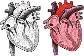 Human Heart,Healthcare And Medicine,Biology,Human Internal Organ,Ilustration,The Human Body,Vector,Human Muscle,Black And White,Wellbeing,Pen And Ink