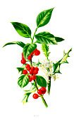 Flower,Holly,Ilustration,Single Flower,Christmas,Leaf,Berry,Flower Part,Flower Head,Plant Part,Temperate Flower,Plant,Nature,holly leaf,Green Color,Colors,Nature,Europe,Wildflower,Petal,Color Image,Berry Fruit,European Holly,Blossom,Beauty In Nature,Illustrations And Vector Art,Plant Attribute,Winterberry Holly,Red